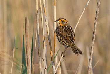 Sharp-tailed Sparrow (Ammodramus caudacutus), Delaware  -  Robert Royse/ BIA