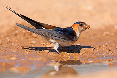 Red-rumped Swallow (Cecropis daurica) carrying mud to build nest, Croatia  -  Ralph Martin/ BIA