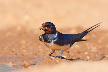 Barn Swallow (Hirundo rustica) carrying mud to build nest, Croatia  -  Ralph Martin/ BIA