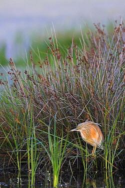 Squacco Heron (Ardeola ralloides), Lesvos, Greece  -  Christine Jung/ BIA