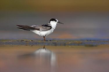 Saunders's Tern (Sternula saundersi), Salalah, Oman  -  Christine Jung/ BIA