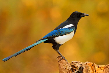 European Magpie (Pica pica)  -  Rosl Roessner/ BIA