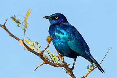 Red-shouldered Glossy-Starling (Lamprotornis nitens) male, Kruger National Park, South Africa  -  Mathias Schaef/ BIA