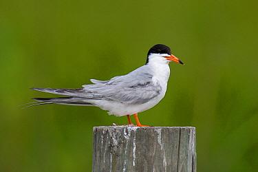 Forster's Tern (Sterna forsteri), Texas  -  Jan Wegener/ BIA