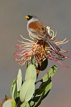 Rufous-backed Inca Finch (Incaspiza personata), Peru  -  Glenn Bartley/ BIA