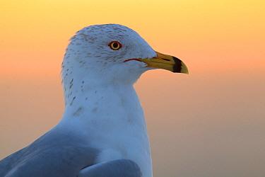 Ring-billed Gull (Larus delawarensis), Florida  -  Jan Wegener/ BIA