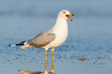 Ring-billed Gull (Larus delawarensis), Florida  -  Jan Wegener/ BIA