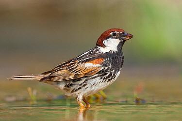 Spanish Sparrow (Passer hispaniolensis), Croatia  -  Ralph Martin/ BIA