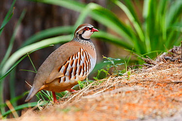 Red-legged Partridge (Alectoris rufa), Mallorca, Spain  -  Ralph Martin/ BIA