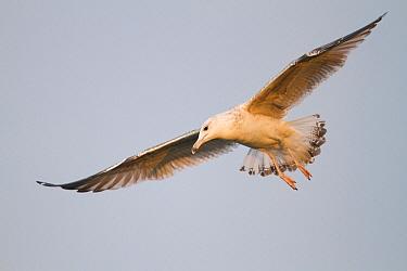 Caspian Gull (Larus cachinnans), Baden-Wurttemberg, Germany  -  Ralph Martin/ BIA