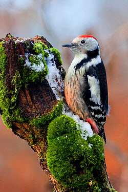 Middle Spotted Woodpecker (Dendrocopos medius) male, Baden-Wurttemberg, Germany  -  Ralph Martin/ BIA