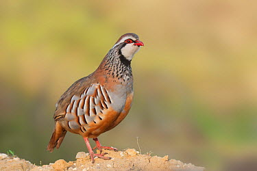 Red-legged Partridge (Alectoris rufa), Spain  -  Ralph Martin/ BIA