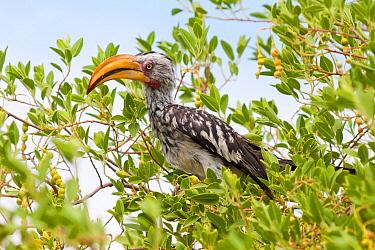 Southern Yellow-billed Hornbill (Tockus leucomelas), Namibia  -  Ralph Martin/ BIA