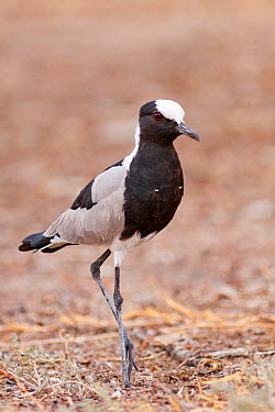 Blacksmith Lapwing (Vanellus armatus), Namibia  -  Ralph Martin/ BIA