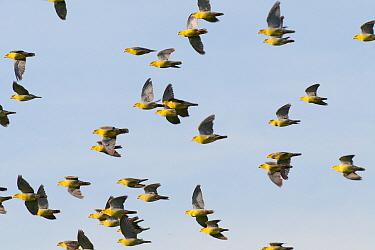 African Green-Pigeon (Treron calvus) flock flying, Okavango Delta, Botswana  -  Ralph Martin/ BIA