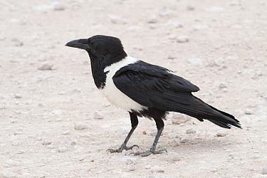 Pied Crow (Corvus albus), Namibia  -  Ralph Martin/ BIA