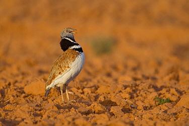 Little Bustard (Tetrax tetrax) male displaying, Castile-La Mancha, Spain  -  Marion Vollborn/ BIA