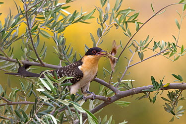 Great Spotted Cuckoo (Clamator glandarius) carrying insect prey, Castile-La Mancha, Spain  -  Marion Vollborn/ BIA