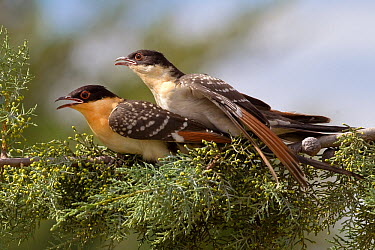 Great Spotted Cuckoo (Clamator glandarius) pair mating, Castile-La Mancha, Spain  -  Marion Vollborn/ BIA