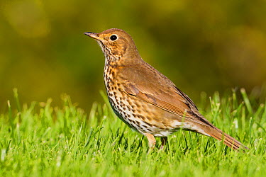 Song Thrush (Turdus philomelos), Schleswig-Holstein, Germany  -  Ralph Martin/ BIA