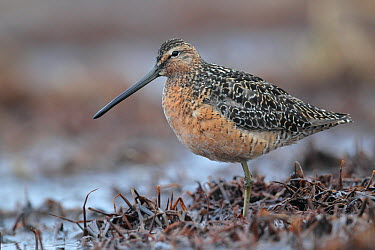 Long-billed Dowitcher (Limnodromus scolopaceus), Alaska  -  Jacob S. Spendelow/ BIA