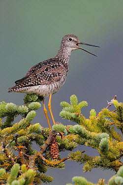 Greater Yellowlegs (Tringa melanoleuca), Alaska  -  Jacob S. Spendelow/ BIA