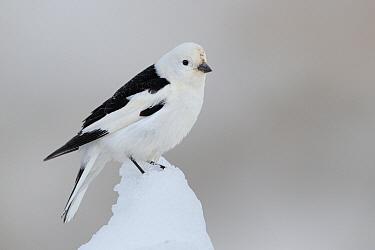 Snow Bunting (Plectrophenax nivalis) male, Alaska  -  Jacob S. Spendelow/ BIA