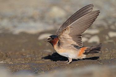 American Cliff Swallow (Petrochelidon pyrrhonota), Alaska  -  Jacob S. Spendelow/ BIA