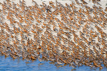 Bar-tailed Godwit (Limosa lapponica) and Red Knot (Calidris canutus) mixed flock, Schleswig-Holstein, Germany  -  Ralph Martin/ BIA