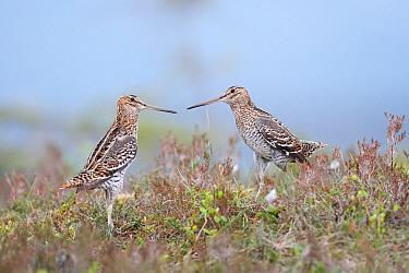Great Snipe (Gallinago media) pair courting, Levanger, Norway  -  Jiri Slama/ BIA