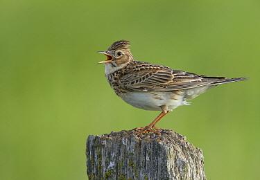 Eurasian Skylark (Alauda arvensis) singing, Schleswig-Holstein, Germany  -  Chris Romeiks/ BIA