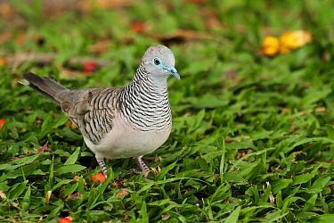 Peaceful Dove (Geopelia placida), Queensland, Australia  -  Jan Piecha/ BIA