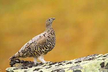 Rock Ptarmigan (Lagopus muta) female, Tyrol, Austria  -  Jan Piecha/ BIA
