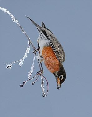 American Robin (Turdus migratorius) feeding on berries, Saskatchewan, Canada  -  Nick Saunders/ BIA