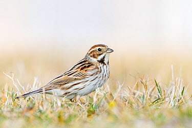 Reed Bunting (Emberiza schoeniclus), Baden-Wurttemberg, Germany  -  Ralph Martin/ BIA