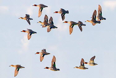 Common Teal (Anas crecca) flock flying, Baden-Wurttemberg, Germany  -  Ralph Martin/ BIA