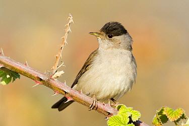 Blackcap (Sylvia atricapilla) male, Baden-Wurttemberg, Germany  -  Ralph Martin/ BIA