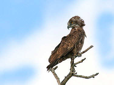 Brown Snake-Eagle (Circaetus cinereus), South Africa  -  Walter Soestbergen/ BIA