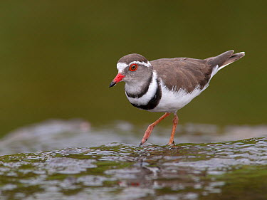 Three-banded Plover (Charadrius tricollaris), South Africa  -  Walter Soestbergen/ BIA