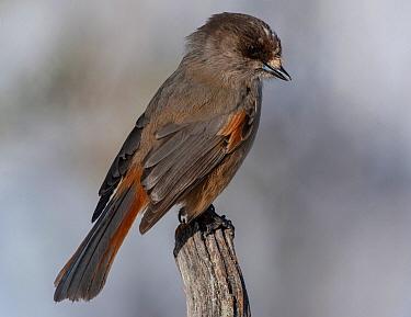 Siberian Jay (Perisoreus infaustus), Finnmark, Norway  -  Peter Hering/ BIA