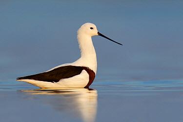 Banded Stilt (Cladorhynchus leucocephalus), Victoria, Australia  -  Jan Wegener/ BIA