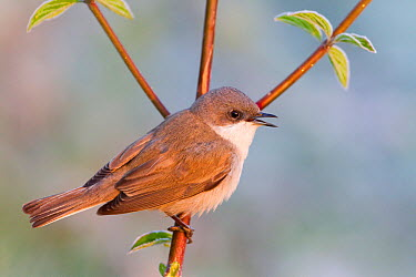 Lesser Whitethroat (Sylvia curruca) male, Baden-Wurttemberg, Germany  -  Ralph Martin/ BIA