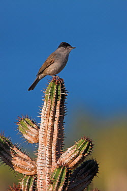 Blackcap (Sylvia atricapilla), Tamri, Morocco  -  Christine Jung/ BIA