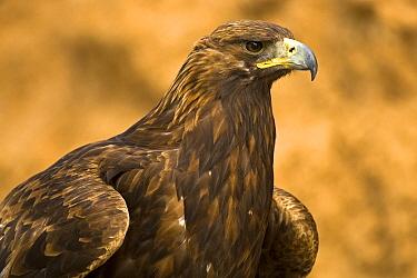 Golden Eagle (Aquila chrysaetos), Madrid, Spain  -  Oscar Diez/ BIA