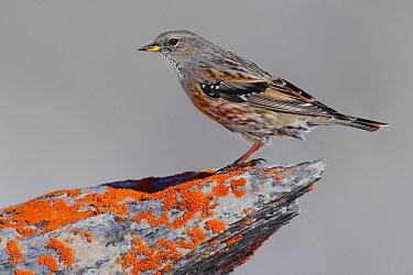 Alpine Accentor (Prunella collaris), Wallis, Switzerland  -  Stefan Rieben/ BIA