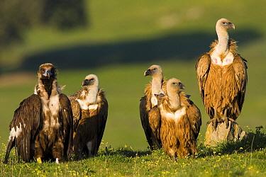 Griffon Vulture (Gyps fulvus) and Eurasian Black Vulture (Aegypius monachus) group, Castile-La Mancha, Spain  -  Oscar Diez/ BIA