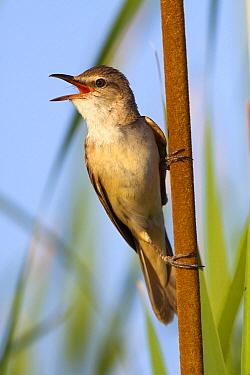 Great Reed-Warbler (Acrocephalus arundinaceus) singing, Castile-La Mancha, Spain  -  Oscar Diez/ BIA