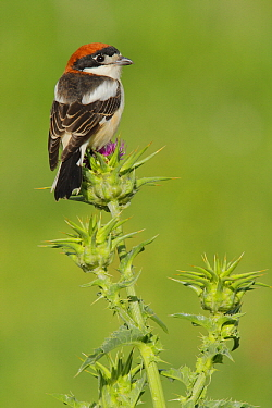 Woodchat Shrike (Lanius senator) male, Cadiz, Spain  -  Andres M. Dominguez/ BIA