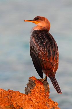 European Shag (Phalacrocorax aristotelis), Menorca, Spain  -  Holger Doernhoff/ BIA