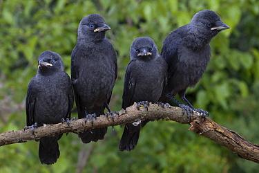 Eurasian Jackdaw (Corvus monedula) juveniles, Castile-La Mancha, Spain  -  Marion Vollborn/ BIA